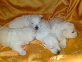 Wunderschöne Welpen West Highland White Terrier mit Papiere