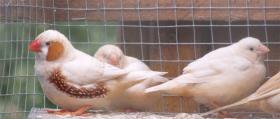 Foto 2 Wundersch�ne Zebrafinken !