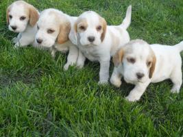 Wunderschöne bicolor Beagle Welpe zu verkaufen mit GRATIS LIEFERUNG!
