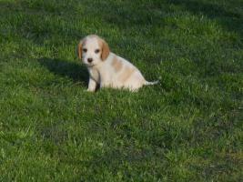 Foto 3 Wunderschöne bicolor Beagle Welpe zu verkaufen mit GRATIS LIEFERUNG!