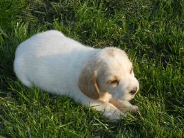 Foto 5 Wunderschöne bicolor Beagle Welpe zu verkaufen mit GRATIS LIEFERUNG!