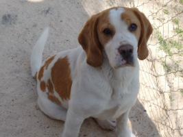 Foto 7 Wunderschöne bicolor Beagle Welpe zu verkaufen mit GRATIS LIEFERUNG!
