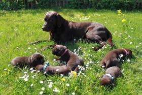 Wunderschöne braune Labradorwelpen ab 10.06. abgabebereit. Mit Papieren, geimpft, entwurmt, gechipt und bestens sozialisiert.