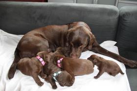 Foto 2 Wunderschöne braune Labradorwelpen ab 10.06. abgabebereit. Mit Papieren, geimpft, entwurmt, gechipt und bestens sozialisiert.