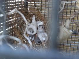 Wunderschöne junge Zebrafinken von 2011 abzugeben