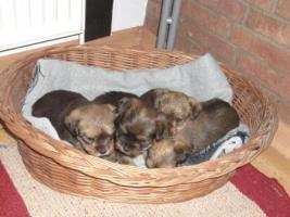 Wunderschöne kleine Yorksher-Terrier Mix Welpen!!