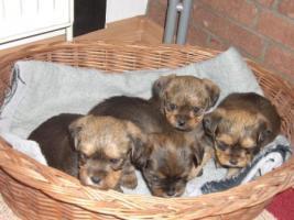 Foto 2 Wunderschöne kleine Yorksher-Terrier Mix Welpen!!