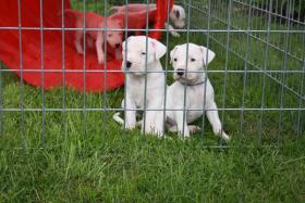 Wunderschöne reinrassige Dogo Argentino Welpen