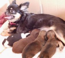 Foto 5 Wundersch�ne reinrassige typvolle LH Chihuahuawelpen zu verkaufen!!!
