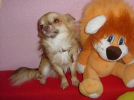 Foto 6 Wundersch�ne reinrassige typvolle LH Chihuahuawelpen zu verkaufen!!!