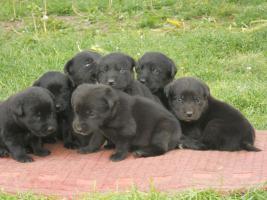 Wundersch�ne schwarze Labrador Babys mit gratis Lieferung!
