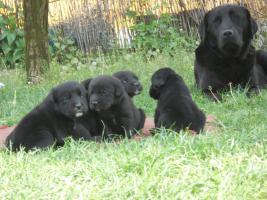 Foto 2 Wundersch�ne schwarze Labrador Babys mit gratis Lieferung!