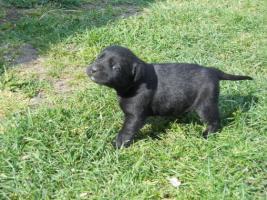 Foto 3 Wundersch�ne schwarze Labrador Babys mit gratis Lieferung!
