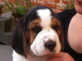 Foto 3 Wunderschöne tricolor beagle Welpen suchen neue Zuhause :-)