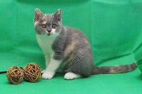 Wunderschöne und verschmuste Glücks-Katze