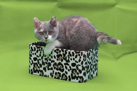 Foto 2 Wunderschöne und verschmuste Glücks-Katze