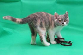 Foto 3 Wunderschöne und verschmuste Glücks-Katze