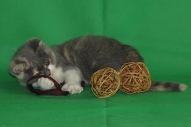 Foto 5 Wunderschöne und verschmuste Glücks-Katze