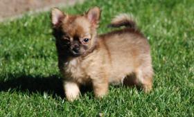 Foto 3 Wundersch�ne  MINI Chihuahua Welpen