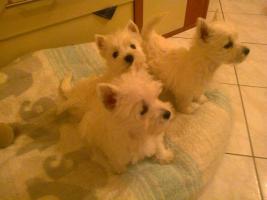 Wunderschöne  West Highland White Terriers  in super Preis!
