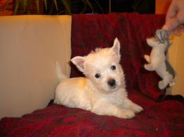 Foto 4 Wunderschöne  West Highland White Terriers  in super Preis!