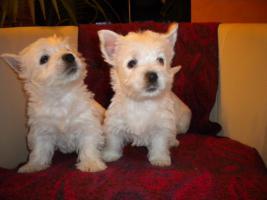 Foto 5 Wunderschöne  West Highland White Terriers  in super Preis!
