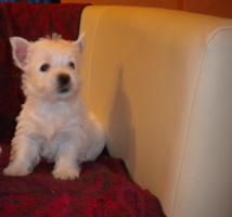 Foto 6 Wunderschöne  West Highland White Terriers  in super Preis!
