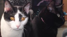 Wundersch�ne, kastrierte Katze und Kater abzugeben
