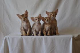 Wunderschöne, typvolle OKH-Kitten