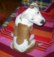 Wunderschönen Amerikanischer Staffordschire Terrier Welpen