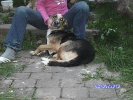 Foto 2 Wunderschöner Collie-Schäferhund-Mix, ca. 3-4 Jahre sucht