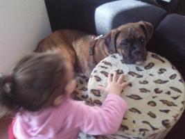 Foto 2 Wundersch�ner und Kinderlieber Boxer ( 7 Monate )
