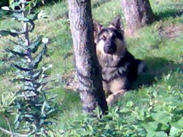 Foto 3 Wunderschöner Langhaar Schäferhund-Rüde
