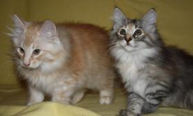 Foto 5 Wunderschöner Norwegischer Waldkatzen Kater
