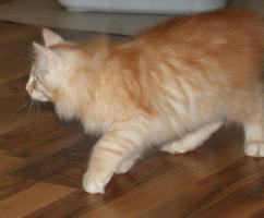 Foto 6 Wunderschöner Norwegischer Waldkatzen Kater