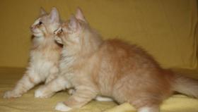 Foto 7 Wunderschöner Norwegischer Waldkatzen Kater