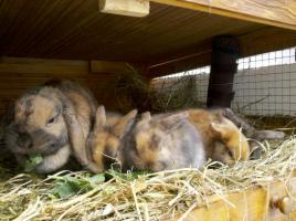 Foto 4 Wunderschöner, junger Zwergwidderrammler sucht Möhrchengeber!
