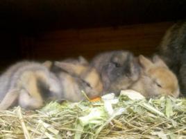 Foto 5 Wunderschöner, junger Zwergwidderrammler sucht Möhrchengeber!