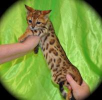Wunderschönes Bengal Kitten zu verkaufen