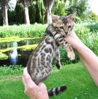 Foto 2 Wunderschönes Bengal Kitten zu verkaufen