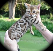 Foto 3 Wunderschönes Bengal Kitten zu verkaufen