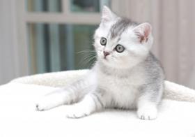 Wunderschönes Britisch Kurzhaar Katzenmädchen!