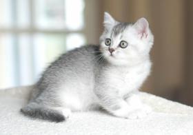 Foto 2 Wunderschönes Britisch Kurzhaar Katzenmädchen!