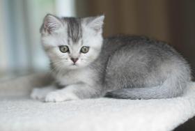 Foto 4 Wunderschönes Britisch Kurzhaar Katzenmädchen!