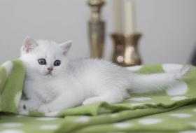 Foto 5 Wunderschönes Britisch Kurzhaar Mädchen in silver-shaded