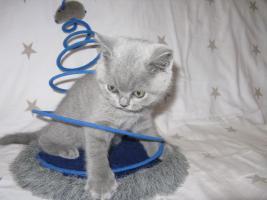 Wunderschönes Kitten BKH in blau ( Kartäuser )