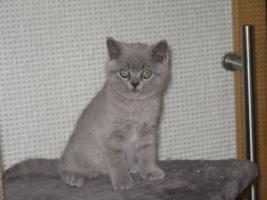 Foto 2 Wunderschönes Kitten BKH in blau ( Kartäuser )