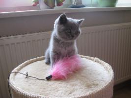 Foto 3 Wunderschönes Kitten BKH in blau ( Kartäuser )