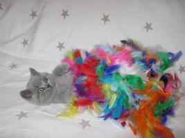 Foto 4 Wunderschönes Kitten BKH in blau ( Kartäuser )