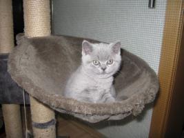 Foto 5 Wunderschönes Kitten BKH in blau ( Kartäuser )